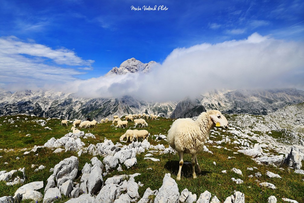 A flock of sheep grazing in high pastures in the Julian Alps, Slovenia