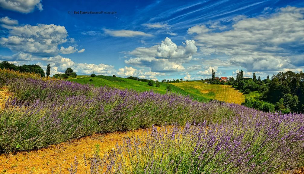 The Pernica countryside with the lavender fields in bloom