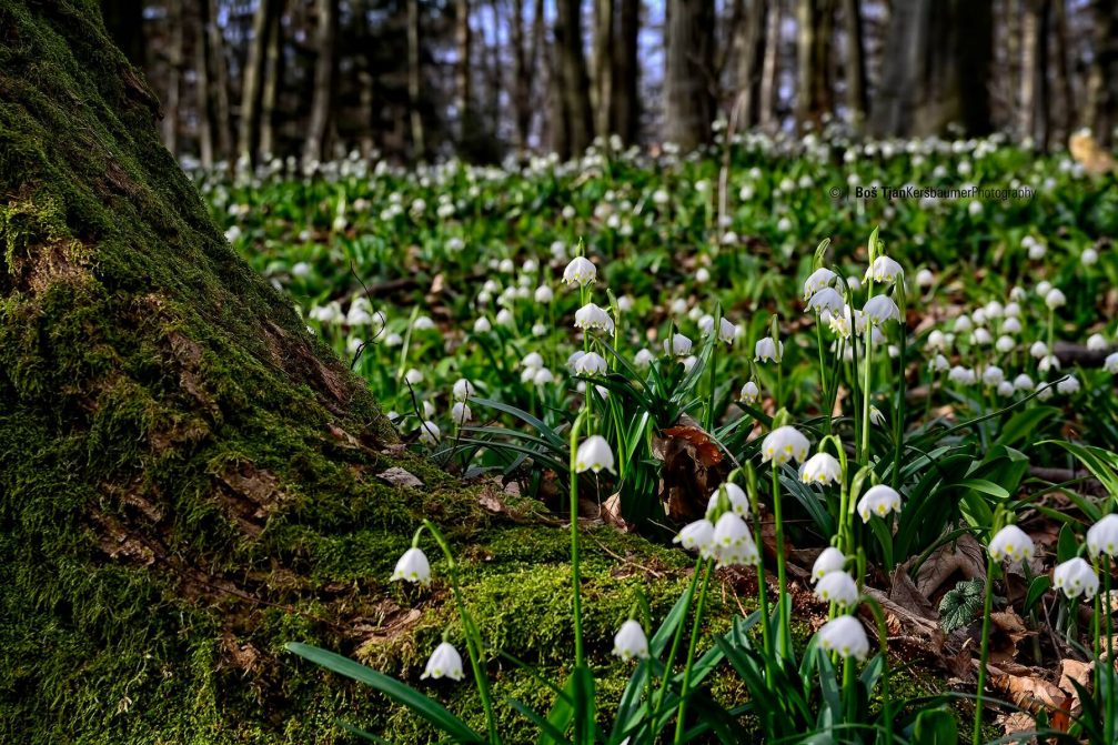 Leucojum vernum, the Spring Snowflake, growing in the Pohorje woods in Slovenia