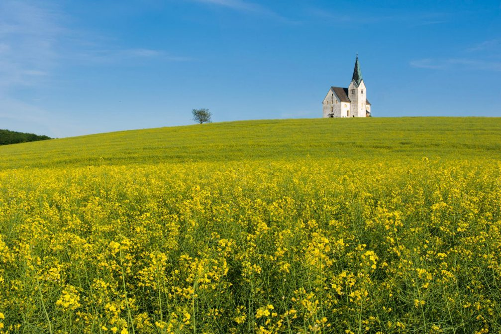 A field of yellow rapeseed in flower and the Church of St. Oswald in Unise, Slovenia