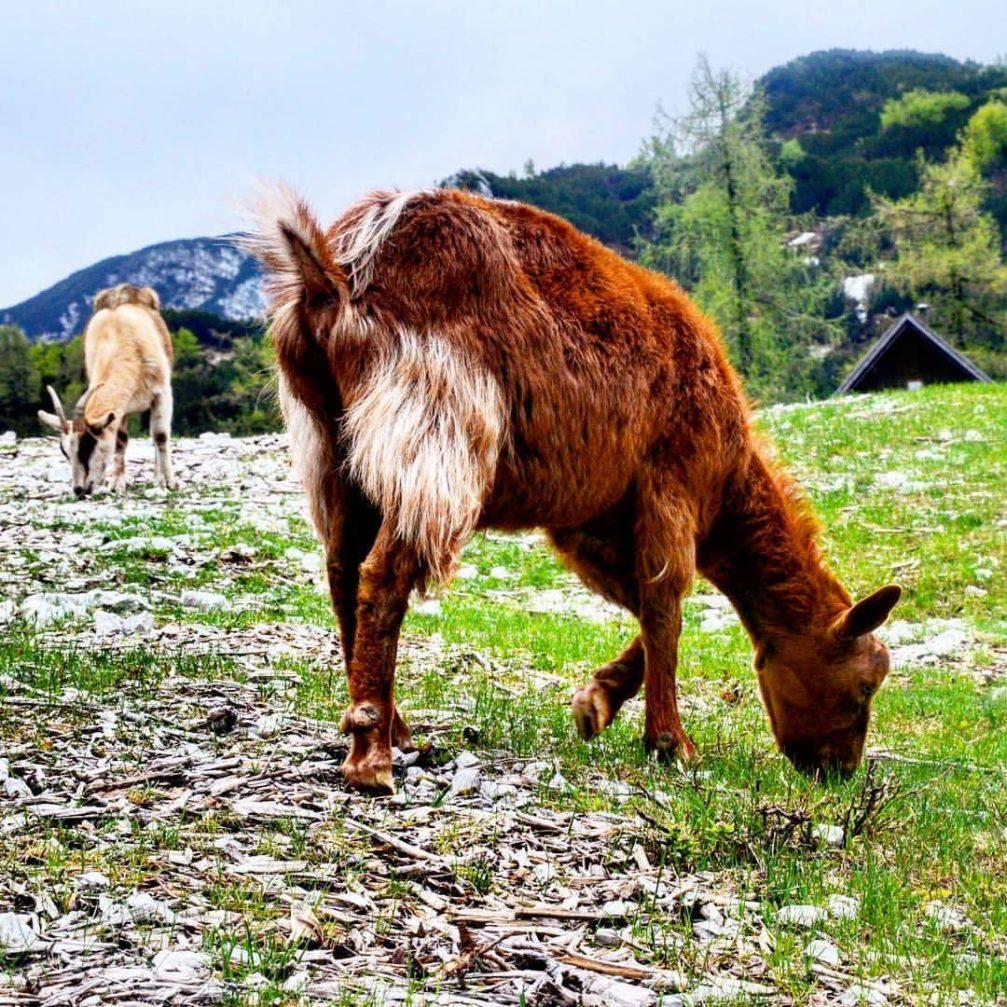 Some local wildlife on the Vogel mountain above Lake Bohinj in the Triglav National Park