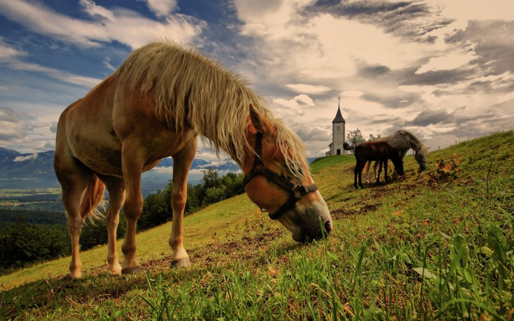 Horses grazing grass on the slope of a hill with the Jamnik church in the background