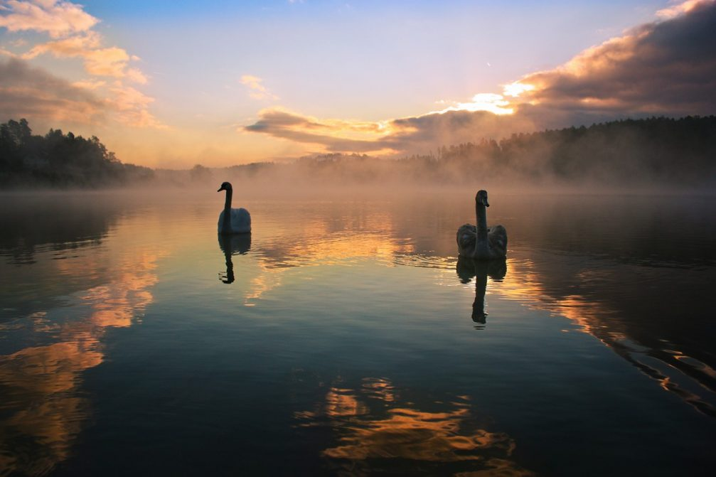 A couple of elegant white swans floating on the Smartinsko Jezero lake near Celje, Slovenia