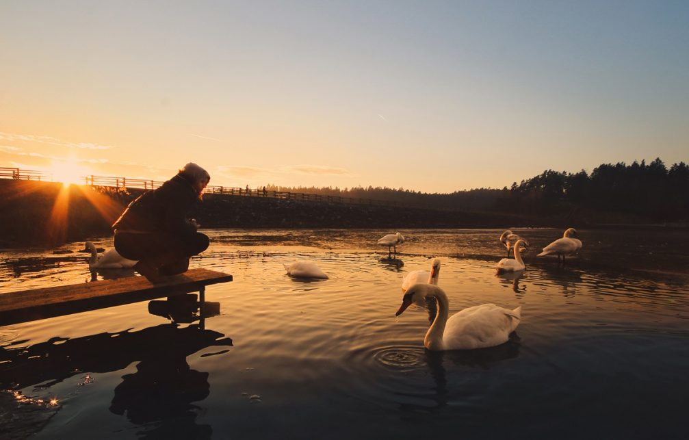A flock of elegant white swans at the Smartinsko Jezero lake in Slovenia