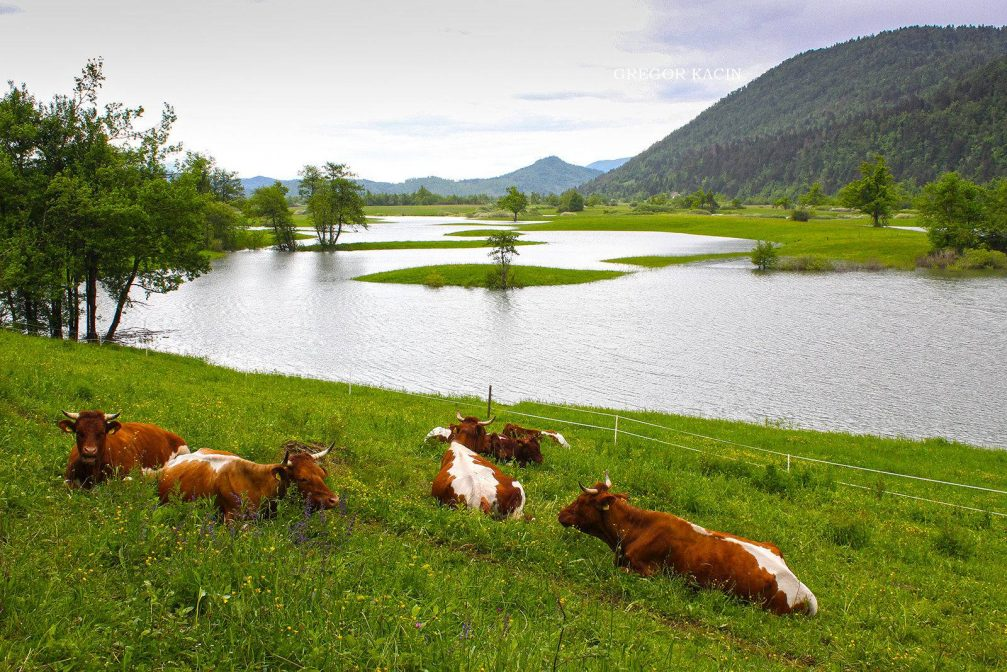 A herd of cows on a pasture at the flooded Planinsko Polje karst field in Slovenia