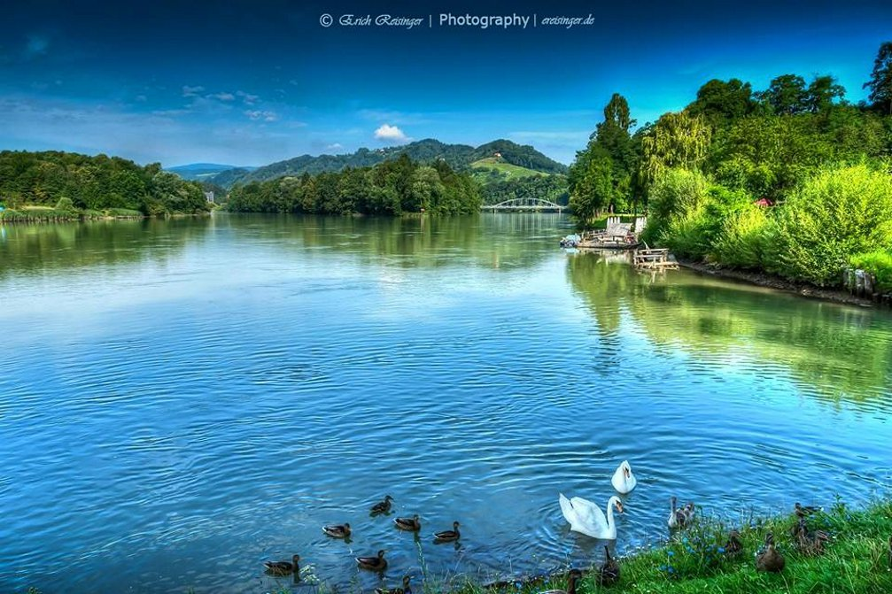 A group ow white swans on the Drava river near Maribor, Slovenia