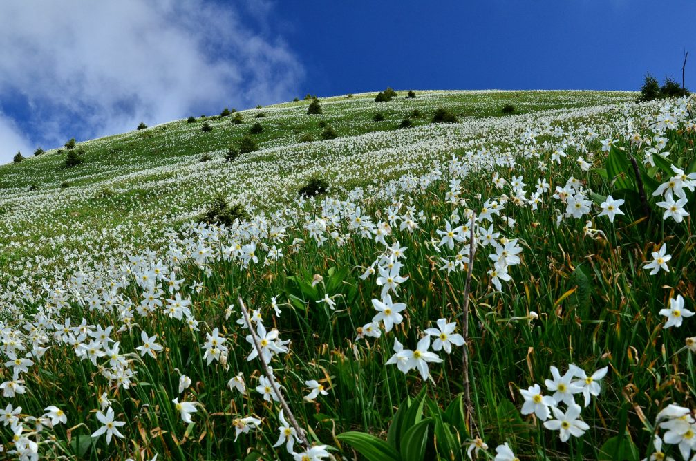 Looking up a hill below Golica carpeted in white mountain daffodils