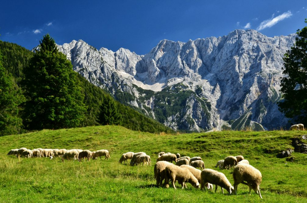 A flock of sheep grazing in high pastures in the Kamnik-Savinja Alps in Zgornje Jezersko