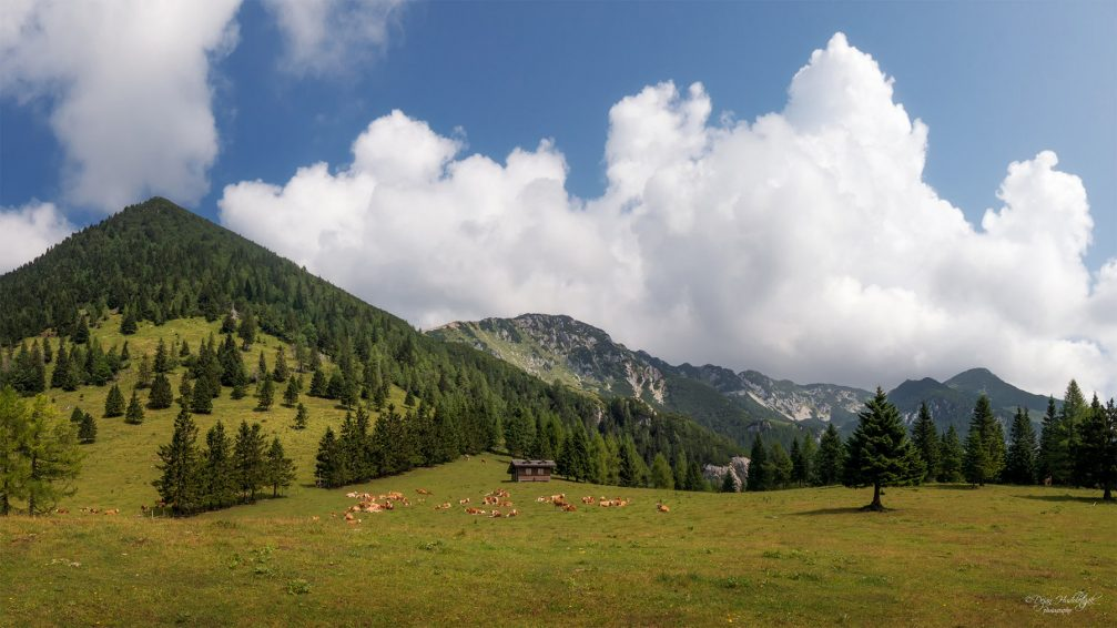A herd of cows grazing on the Kriska Planina mountain pasture in Slovenia