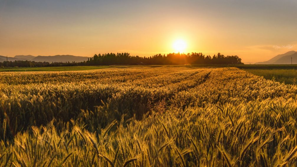 A golden barley field in the Slovenian countryside at sunset