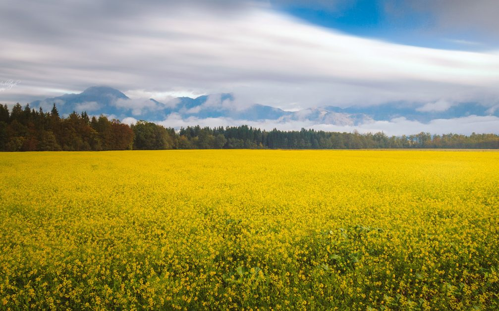 A rapeseed field in yellow bloom on a farm near the village of Sencur, Slovenia