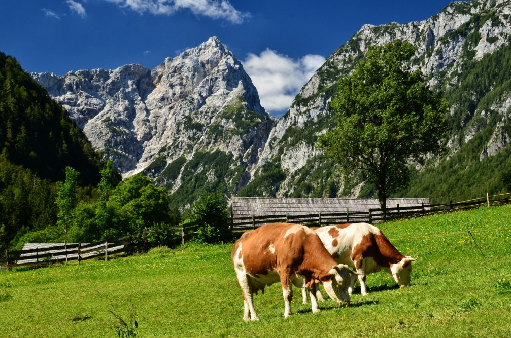 A herd of cows grazing on pasture in the Robanov Kot Valley in Slovenia
