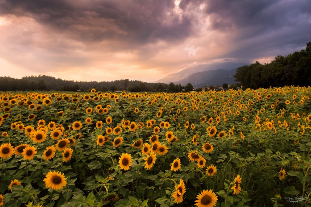 A large sunflower field in northwestern Slovenia