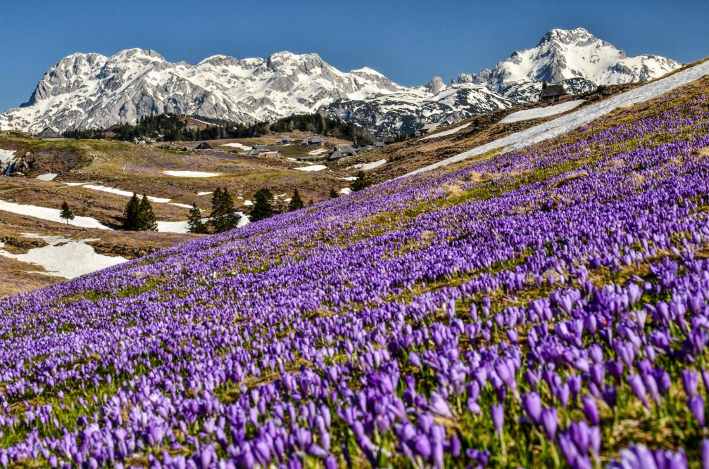 Crocus carpet of purple flowers on the Velika Planina meadows in the Kamnik-Savinja Alps