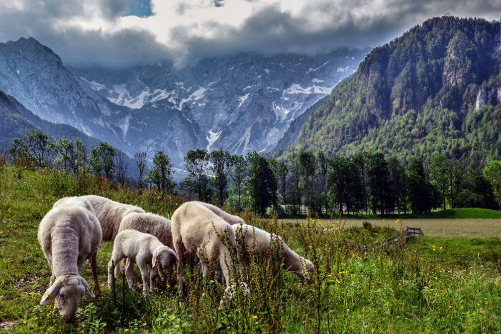 A flock of the indigenous Jezersko-Solcava sheep grazing in high pastures the Jezersko Valley, Slovenia