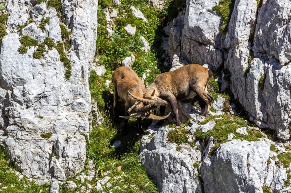 Two male Alpine Ibex fighting in the Julian Alps in Slovenia