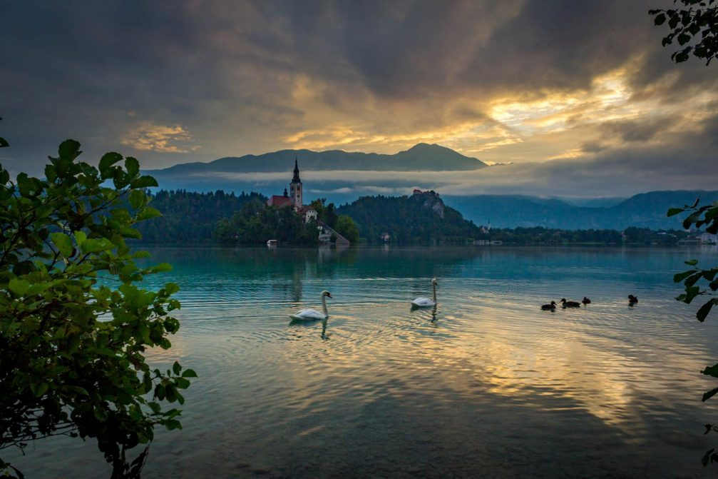 Lake Bled with a group of white swans floating in front of the island