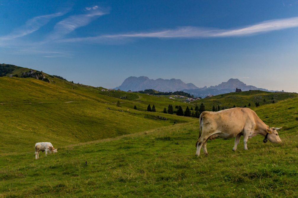 Cows grazing on Velika Planina, a beautiful Alpine pasture in Slovenia