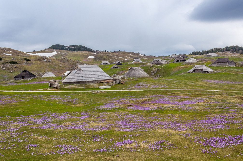Crocuses blooming all around the herdsmen's huts on Velika Planina in the Kamnik-Savinja Alps
