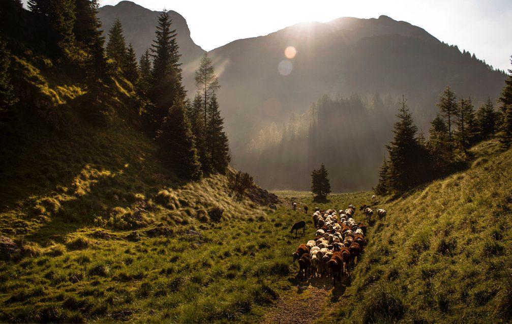 A flock of sheep in the Krnsko area in the Julian Alps in Triglav National Park
