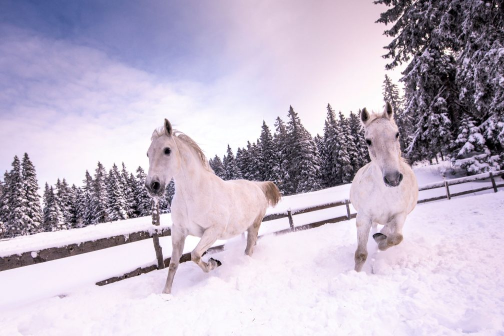 A couple of white horses outside on the snow in winter in Pohorje, Slovenia